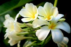 Frangipani Tropical Flowers Stock Photos – 4,714 Frangipani Tropical Flowers Stock Images, Stock Photography & Pictures - Dreamstime