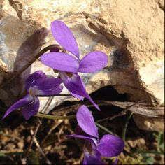 Violet against a stone