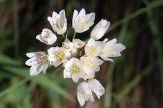 Alho-rosado (Allium roseum) @ Arrábida Natural Park - Portugal