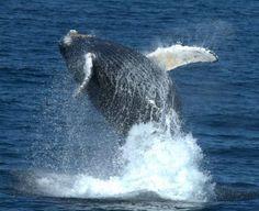Whale Watching, Cape Cod MA