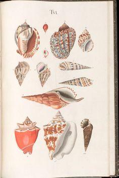 Nature Illustration, Botanical Illustration, Antique Prints, Vintage Prints, Painted Shells, Sea Creatures, Botanical Prints, Natural History, Vintage Images