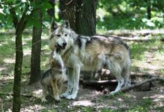 http://www.pinterest.com/backyardwillow/natures-howling-poochies/