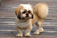 pekingese dog haircut styles images