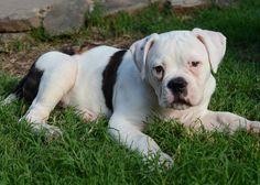 American bulldog puppy!