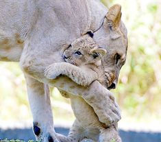 These amazing snaps show that Mother's Day isn't just for humans, pictured are a cub and i. These adorable photos taken of animals from all over the world show how the animal kingdom, including lions, whales and crocodiles, celebrate Mother's Day. Baby Animals Super Cute, Cute Wild Animals, Baby Animals Pictures, Cute Little Animals, Cute Animal Pictures, Cute Funny Animals, Animals And Pets, Mother And Baby Animals, Happy Animals