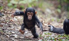 Brave explorer: The tiny chimpanzee wobbles slightly as he tries to look tough for the camera