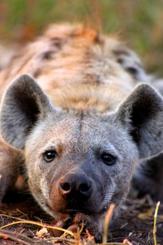 Sleepy Hyena in the Kruger