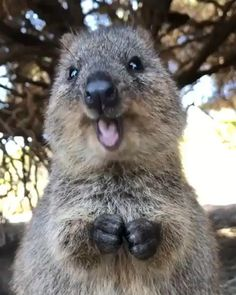 Say Hello to the Quokka! Native to areas of Australia, these animals are relatively small, weighing approximately five to eleven pounds,… Funny Koala, Cute Funny Animals, Cute Baby Animals, Koala Meme, Rare Animals, Happy Animals, Animals And Pets, Animals Images, Wild Animals
