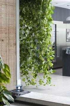 Ein grüner Wasserfall aus den Ranken der Efeutute   #efeutute #zimmerpflanzen #pflanzen #indoor #wohnzimmer #wasserfall #Epipremnum #pflanzenfreude