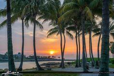 Coconut Trees at Sunrise Dubois Park Jupiter Florida