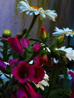 Just after dawn in late June. Foxglove, Shasta daisy and Ageratum