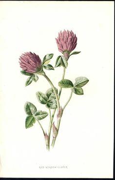 Red Meadow Clover Purple Flowers c.1878 antique chromolithograph Botanical print