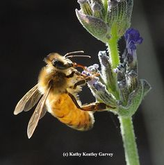 Honey bee sipping nectar from lavender. (Photo by Kathy Keatley Garvey)