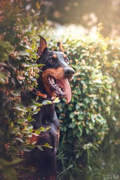 The Doberman Pinscher is among the most popular breed of dogs in the world. Known for its intelligence and loyalty, the Pinscher is both a police- favorite Doberman Funny, Doberman Puppies, Doberman Love, Doberman Pinscher Dog, Dogs And Puppies, Doggies, I Love Dogs, Cute Dogs, Black And Tan Terrier
