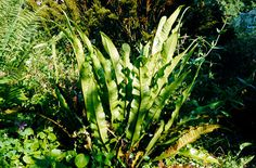hart's tongue fern - can be planted by walls. Drought tolerant