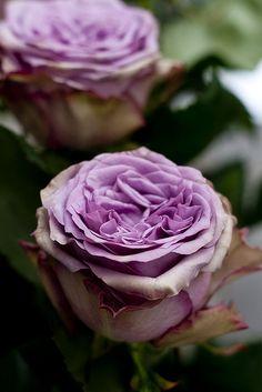 My new favourite rose. Dolcetta.  dolcetto-platonico by Ezio Kroll, via Flickr