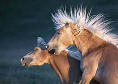Tim Flach Photography horses wild mane