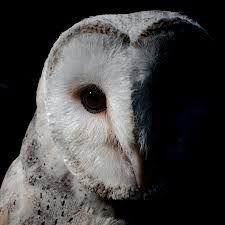 owl close up black and white - Google Search