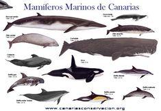 Cetaceos de Canarias - CANARIAS CONSERVACIÓN - Cetacean Research Society