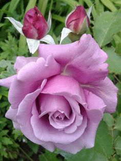 Religious Magic And Spiritual Ability Element One Purple Rose Beautiful Rose Flowers, Flowers Nature, Exotic Flowers, Amazing Flowers, Beautiful Flowers, Lavender Roses, Purple Roses, Pink Flowers, Rose Flower Pictures