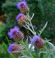 Cynara cardunculus (Cardoon) - Artichoke Thistle - The ornamental artichoke is another colorful option! Artichoke Flower, Vegetable Planting Guide, Flower Pot Design, Fine Gardening, Organic Gardening, Gardening Zones, Plant Guide, Garden Borders, Back Gardens