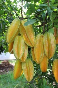 The Carambola Kembangan is This Star Fruit has bright yellow-orange fruit that is slightly elongated and pointed. Colorful Fruit, Orange Fruit, Tropical Fruits, Tropical Flowers, Fruit Plants, Fruit Garden, Edible Garden, Fruit Trees, Fruit And Veg
