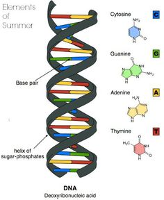 Considered the blueprint of life dna is found in all living cells dna modelg malvernweather Choice Image