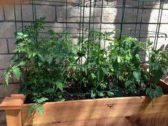 Tomatoes week 3