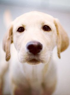 There is nothing like a yellow lab that I have experienced so far in life. They make great therapy dogs. They are so devoted and loving (worth every hair they shed)!