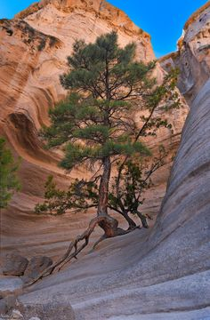 Still holding after all these years. Taken at Kasha-Katuwe Tent Rocks, NM. Weird Trees, Magical Tree, Unique Trees, Old Trees, Nature Tree, Tree Forest, Landscape Photographers, Natural Wonders, Nature Pictures