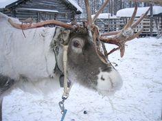 Reindeer in Levi Finland.