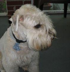 List Of Non Shedding Dog Breeds | Dog Breeds Picture