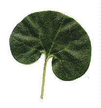 LON-CAPA Botany online: Features of flowering Plants - Leaf Shapes: Simple Leaves
