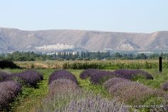Silver Fox Lavender Farm in Emmett Idaho. Lavender festival in July 2012! I'm not gonna miss it :)