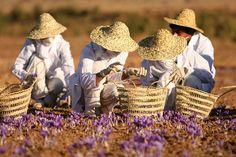 Saffron harvesting Iran