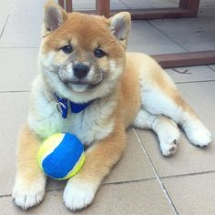 -» I COULD GET USE TO THIS FETCH THING «- . . . #kortmarzahra #shiba #play #dog #shibainu #shibapuppy #shibalove #dogsofinstgram #shibainupuppy #puppy #furkids #furkid #doggie #shibainuofinstagram #shibaholic #shibalovers #shibastagram #shibadog #shibalove #play #doge #doggie #柴犬 #愛犬 #白犬 #fetch #柴犬大好き #zahratheshiba #ball #mondaymotivation @zahra_the_shiba