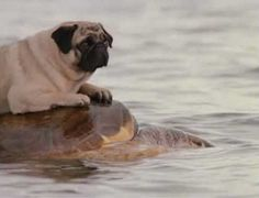 dog riding turtle