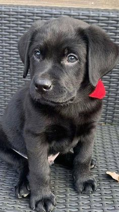 Cute Baby Puppies, Super Cute Puppies, Baby Dogs, Doggies, Black Labs Dogs, Black Lab Puppies, Funny Dog Pictures, Cute Animal Pictures, Cute Funny Animals