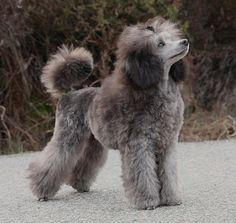 Fantaisya The Beautiful Grey Of Marysa - Poodles In Scandinavia