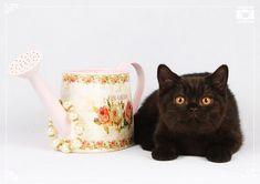Black british cats