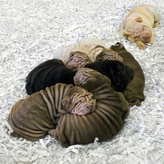 Sharpei puppies, I automatically want to cuddle the one that's not part of the big group nap.