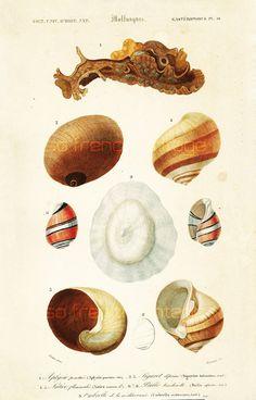 1861 Coquillages Bulles Orbigny Planche Originale Couleurs peintes main Qualité Exceptionnelle Crustacés Méditerranée Océan Mer