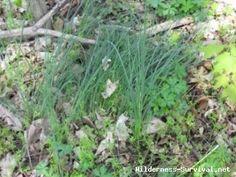 Scientific Name: Allium species  Common Name(s): Field Garlic, onion grass, Wild Garlic, wild onion, Wild Onions or Nodding Wild Onions  Edible: yes  Medicinal: no  Parts Used: root, leaf