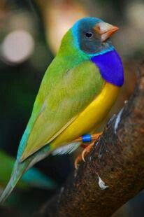 Gouldian Finch. Maybe this coloring for Loopy's new friend?