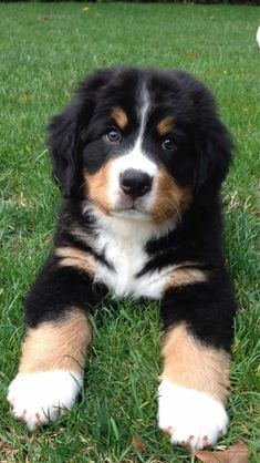 Terrific Pic Bernese Mountain Dogs cute Suggestions Being fully a working breed the Bernese Mountain dog is relatively high energy … Cute Baby Dogs, Super Cute Puppies, Cute Little Puppies, Cute Dogs And Puppies, Cute Little Animals, Doggies, Baby Animals Pictures, Cute Animal Photos, Dog Pictures