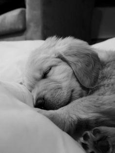 Puppy, pupp, hvalp, cute, nuttet, adorable, photo b/w