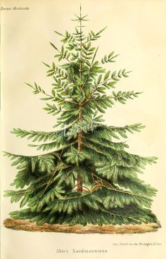 trees-00726  Nordmann Fir or Caucasian Fir abies