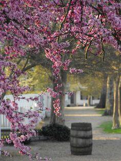 spring - Colonial Williamsburg, VA