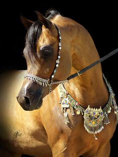 WC Ali Gazal By World Reserve Champion and sire of World Champions, *Gazal Al Shaqab and out of the highest ranking *Ali Jamaal daughter on the prestigious Arabian Horse World, WC Ali Gazal is already siring National Champions himself. Egyptian Arabian Horses, Beautiful Arabian Horses, Most Beautiful Horses, Majestic Horse, All The Pretty Horses, Animals Beautiful, Arabian Stallions, Andalusian Horse, Friesian Horse