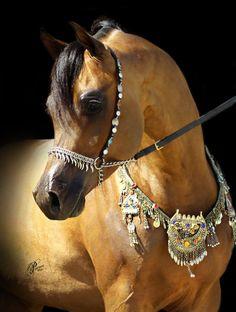 WC Ali Gazal; 2007 bay Arabian stallion (*Gazal Al Shaqab x JE Ali Selene) Egyptian Arabian Horses, Beautiful Arabian Horses, Most Beautiful Horses, Majestic Horse, All The Pretty Horses, Animals Beautiful, Arabian Stallions, Andalusian Horse, Friesian Horse